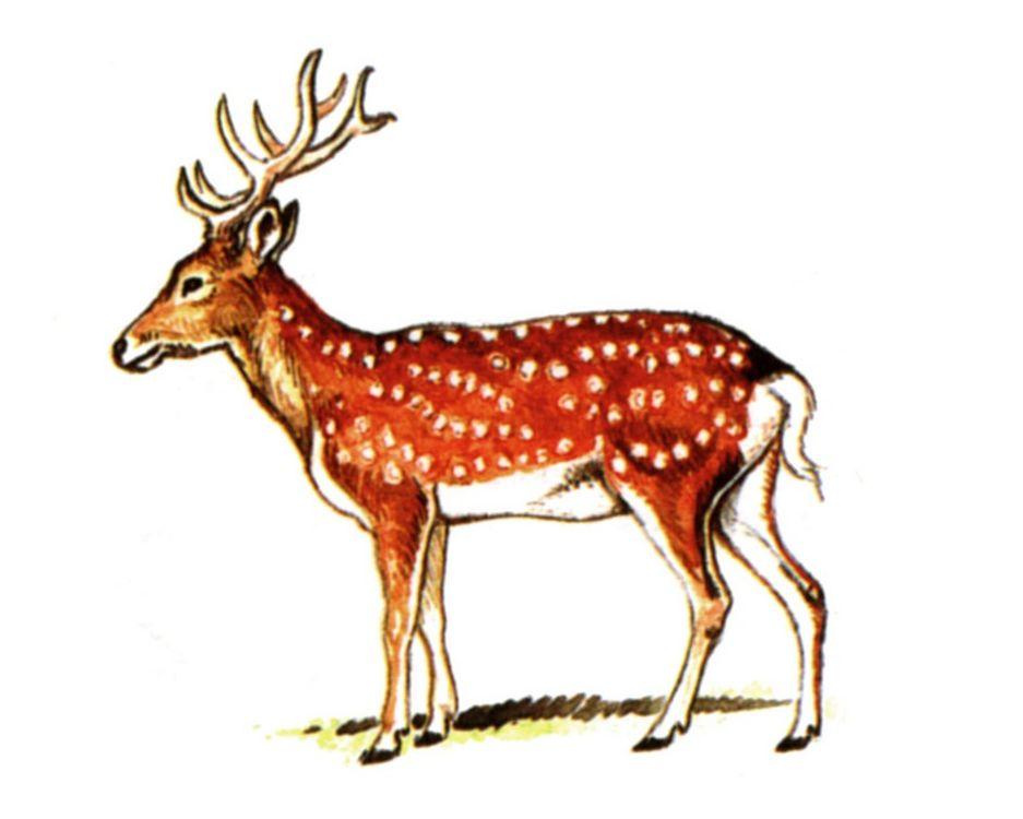 Уссурийскийпятнистый олень